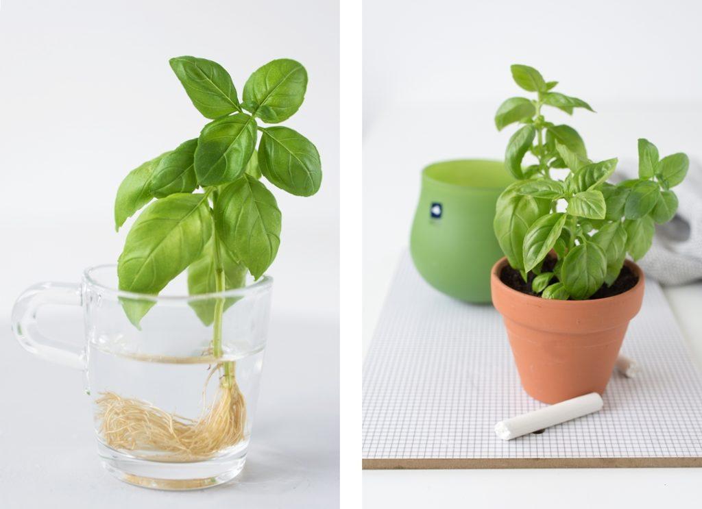 Basilikum selber vermehren - so einfach geht´s!
