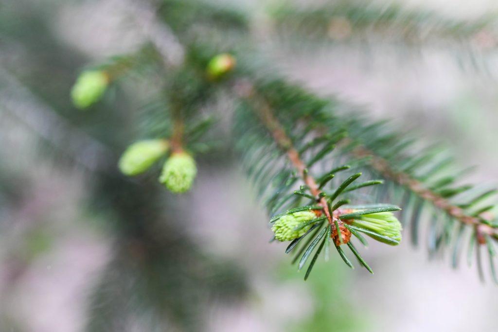 Heilkraft aus dem Wald: So machst du ganz einfach deinen eigenen Hustensaft aus Tannenwipfel