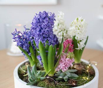 Frühlingsschale mit Hyazinthen und Sukkulenten